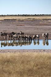 NAMIBIA ETOSHA 29APR14 - A herd of Zebra drink at a waterhole in the Etosha pan near Okaukuejo, Etosha National Park, Namibia. <br /> <br /> <br /> <br /> jre/Photo by Jiri Rezac<br /> <br /> <br /> <br /> © Jiri Rezac 2014