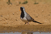 Namaqua Dove (Oena capensis) near water in the desert, negev desert, israel