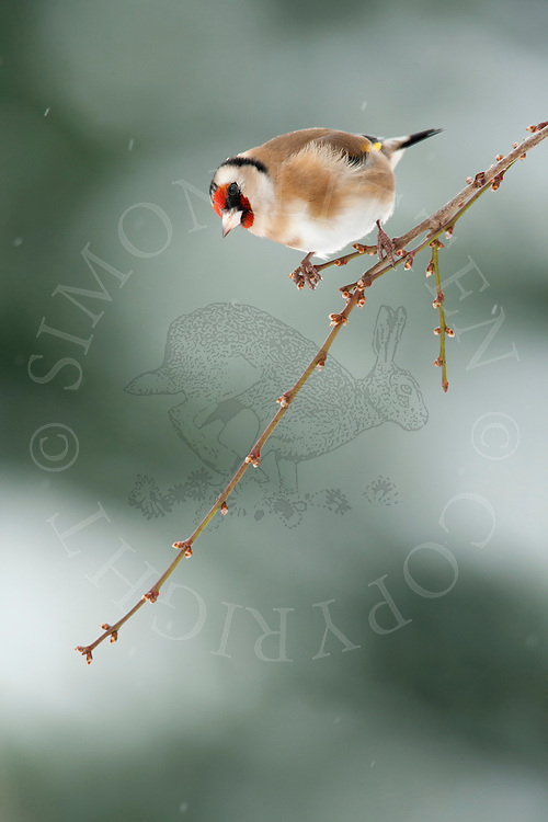 European Goldfinch (Carduelis carduelis) adult, perched on twig, winter, Norfolk, UK.