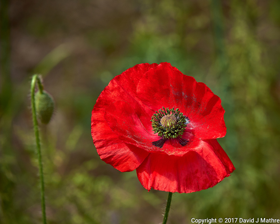 Red Poppy flower. Backyard spring nature in New Jersey. Image taken with a Leica T camera and 55-135 mm lens (ISO 100, 135 mm, f/5, 1/1000 sec).