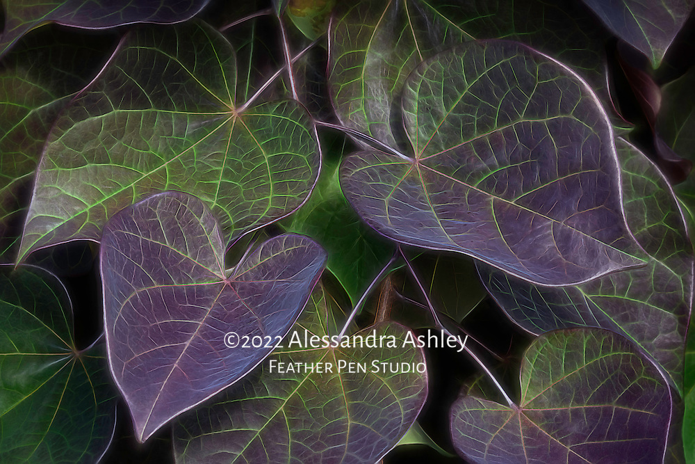 Heart-shaped leaves growing on garden vine, enhanced with glow effect.