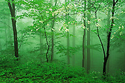 Image of trees in a foggy forest at Great Smoky Mountains National Park, Tennessee, America east coast