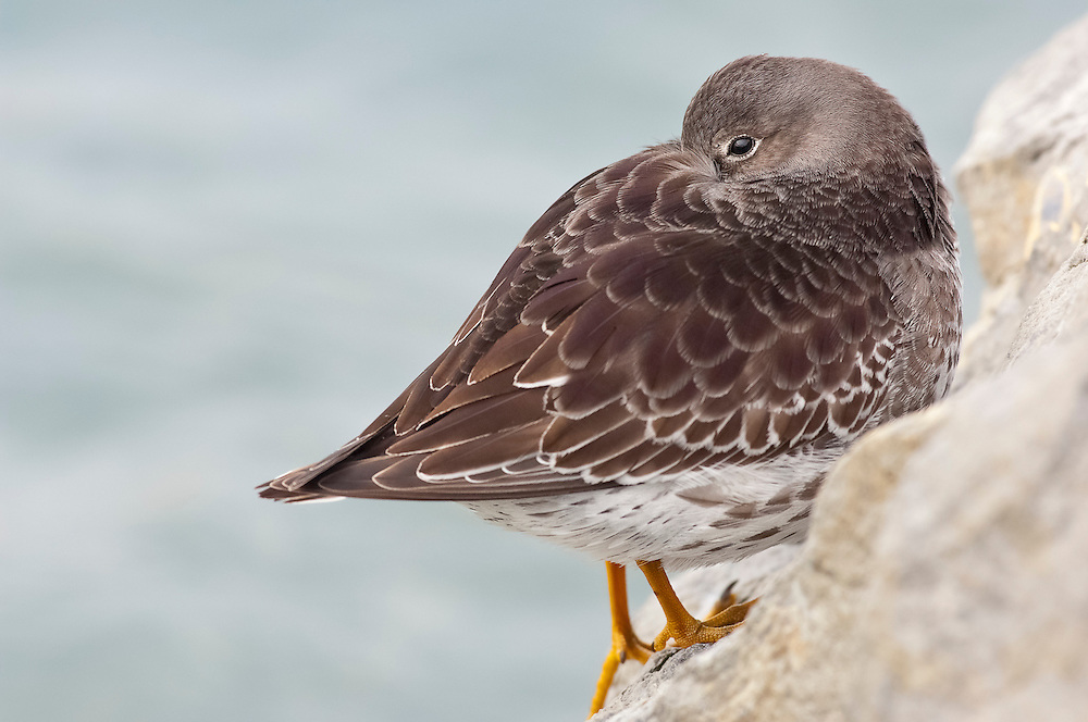 Purple Sandpiper, Calidris maritima, winter, Barnegat Light, New Jersey.