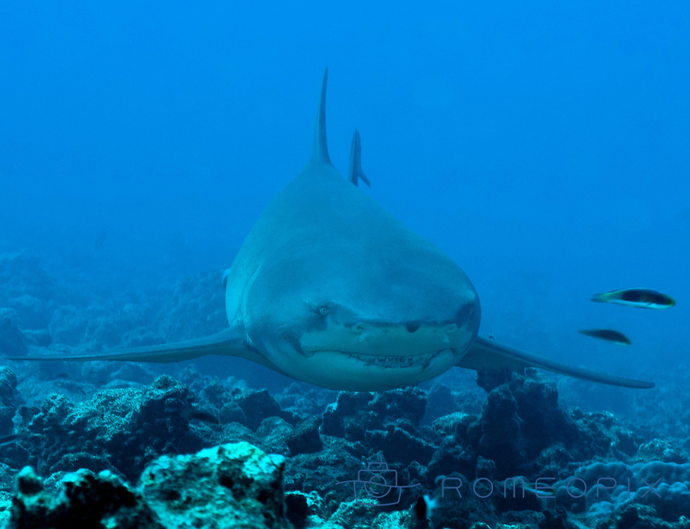 lemon shark, (negaprion acutidens) french polynesia, Moorea Island