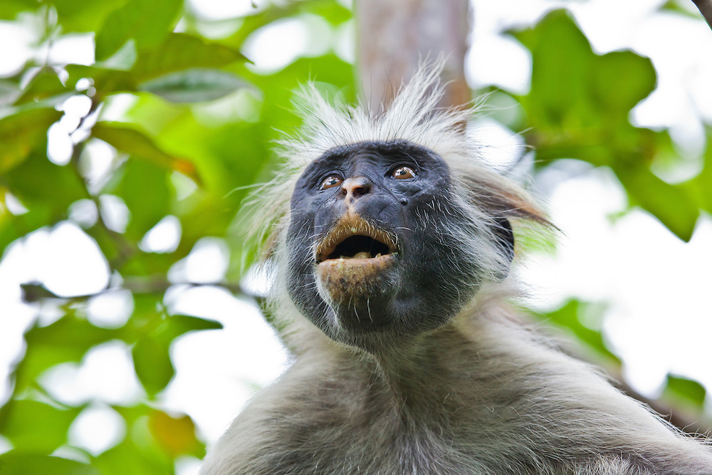 Jozani Forest- this is a Zanzibar Red Colobus monkey. They only exist on Zanzibar and are one of the rarest monkeys in Africa. of the rarest monkeys in Africa. of the rarest monkeys in Africa.