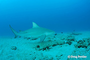 bull shark, Carcharhinus leucas, female in seasonal breeding aggregation with remoras or sharksuckers, Echeneis naucrates, Playa del Carmen, Cancun, Quintana Roo, Yucatan Peninsula, Mexico ( Caribbean Sea )