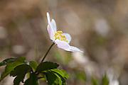 Spring flowers. Anemone nemorosa - hvitveis.