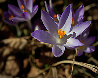 Purple Crocus Flowers. Winter Backyard Nature in New Jersey. Image taken with a Leica CL camera and 60 mm f/2.8 lens (ISO 100, 60 mm, f/4, 1/3200 sec).