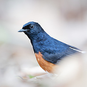 White-rumped shama (Copsychus malabaricus) male from Kaeng Krachan National Park.