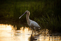 African spoonbill feeding at dusk, Munyawana Conservancy, KwaZulu Natal, South Africa