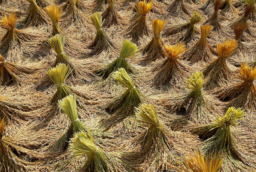 Indonesie. Sulawesi (Celebes). Pays Toraja, Tana Toraja. Séchage du riz. // Indonesia. Sulawesi (Celebes Island). Tana Toraja. Drying rice.