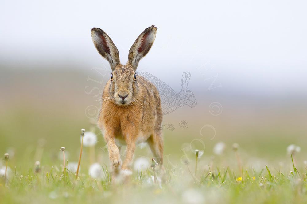 European Hare (Lepus europaeus) adult running through dandelion patch, South Norfolk, UK. May.