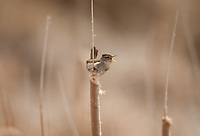 A Marsh Wren sings from the top of a cattail below is the nest it has been building.