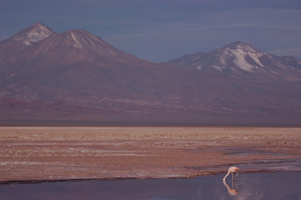 Flamingos in Salar de Atacama. Chile