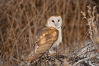 Barn Owls can be found in the marsh as well as barns in the farming community.