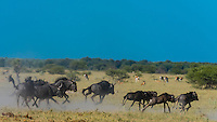 Blue Wildebeest (gnu) running, Nxai Pan National Park, Botswana.