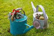Gardening tools. Plants in a watering can.