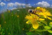 Gemeine Sonnenschwebfliege, Sumpfschwebfliege (Helophilus pendulus)