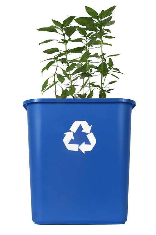 Basil Plant growing in a recycling bin.