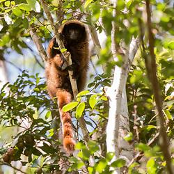 """Guigó (Callicebus personatus) fotografado em Domingos Martins, Espírito Santo -  Sudeste do Brasil. Bioma Mata Atlântica. Registro feito em 2013.<br /> <br /> <br /> <br /> ENGLISH: Masked titi monkey<br />  photographed in Domingos Martins, Espírito Santo - Southeast of Brazil. Atlantic Forest Biome. Picture made in 2013."""