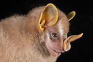 Northern Little Yellow-eared Bat (Vampyressa thyone), Cocobolo Rainforest Reserve, Panama