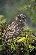 Galapagos short-eared owl, Asio flammeus, an endemic subspecies, Santa Cruz, Galapagos Islands, Ecuador, ( Eastern Pacific )
