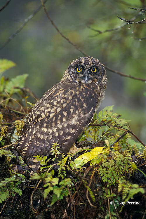Galapagos short-eared owl, Asio flammeus, an endemic subspecies, Santa Cruz, Galapagos Islands, Ecuador, ( Eastern Pacific )