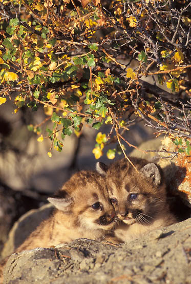 Mountain Lion or Cougar, (Felis concolor) Cubs. Rocky mountains. Montana.  Captive Animal.