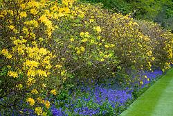 Azaleas and bluebells lining the Moat Walk at Sissinghurst Castle Garden