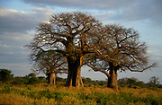 Baobabtree (Adansonia digitata) from Tarangire National Park, Tanzania