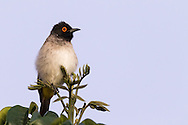 A redeyed bulbul perches on a tree in early morning light, Otjiwarongo, Namibia.