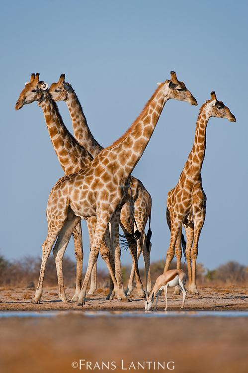 Giraffes at waterhole, Giraffa camelopardalis, with drinking springbok, Antidorcas marsupialisEtosha National Park, Namibia
