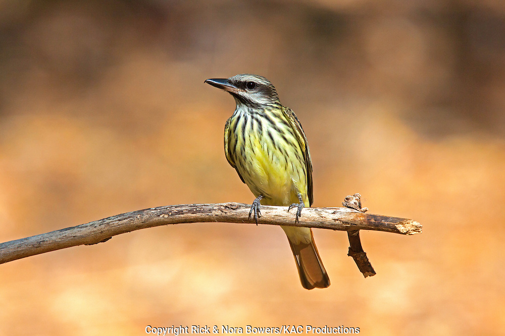Sulphur-bellied Flycatcher <br /> Myiodynastes luteiventris<br /> Huachuca Mountains, near Sierra Vista, Arizona, United States<br /> 17 May      Adult       Tyrannidae