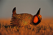"""Greater Prairie Chicken display, booming grounds. Burchard Lake Wildlife Management Area, Pawnee County, Nebraska. As part of an elaborate courtship disply, male greater prairie chickens expand the air sacs on the sides of their necks, drum their feet in stylized dances and make a booming call that can be heard for over a mile. These mating rituals occur on elevated, grazed areas in grasslands known as """"leks"""" or """"booming grounds."""" Once inhabiting the wide plains of the central United States, the greater prairie chicken has fared poorly as its grassland habitat has been converted to other uses."""