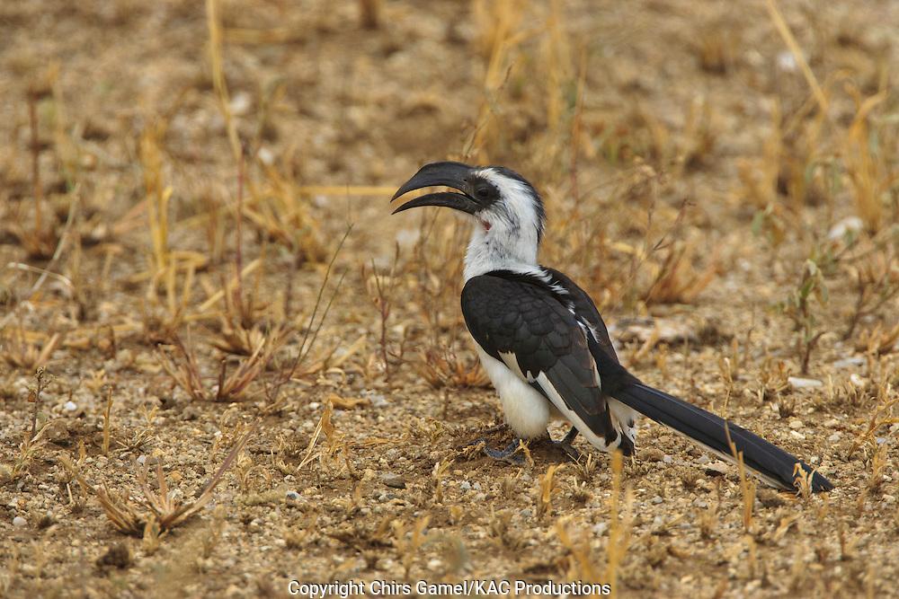 Female Von Der Decken's Hornbill (Tockus deckeni) standing on the ground, Tarangire National Park, Tanzania, Africa; secondary cavity nester; sexual dimorphism; dry season