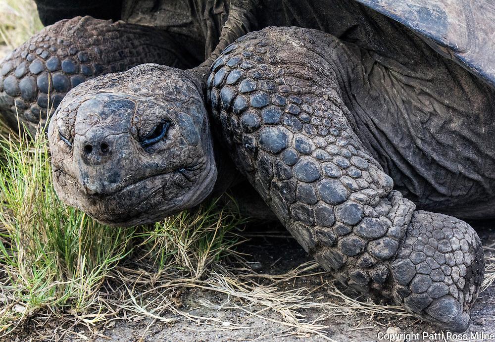 Galapagos tortoise.