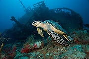 Hawksbill Sea Turtle, Eretmochelys imbricata, swims past an artifiical reef in Palm Beach County, FL. Image available as a premium quality aluminum print ready to hang.