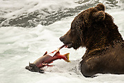 An adult Brown Bear shreds a Sockeye Salmon in the jacuzzi area of Brooks Falls in Katmai National Park and Preserve September 15, 2019 near King Salmon, Alaska. The park spans the worlds largest salmon run with nearly 62 million salmon migrating through the streams which feeds some of the largest bears in the world.