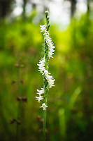 These beautiful tiny flowers of the grass-leaved ladies'-tresses form a perfect spiral in this native terrestrial orchid, found growing along the highway in rural coastal North Florida.