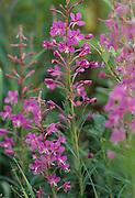 Fireweed, Tundra, Clouds, Summer, Wildflowers, Purple flower, Denali National Park, Alaska