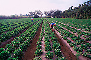 Vegetable farm, Kamuela, Island of Hawaii<br />