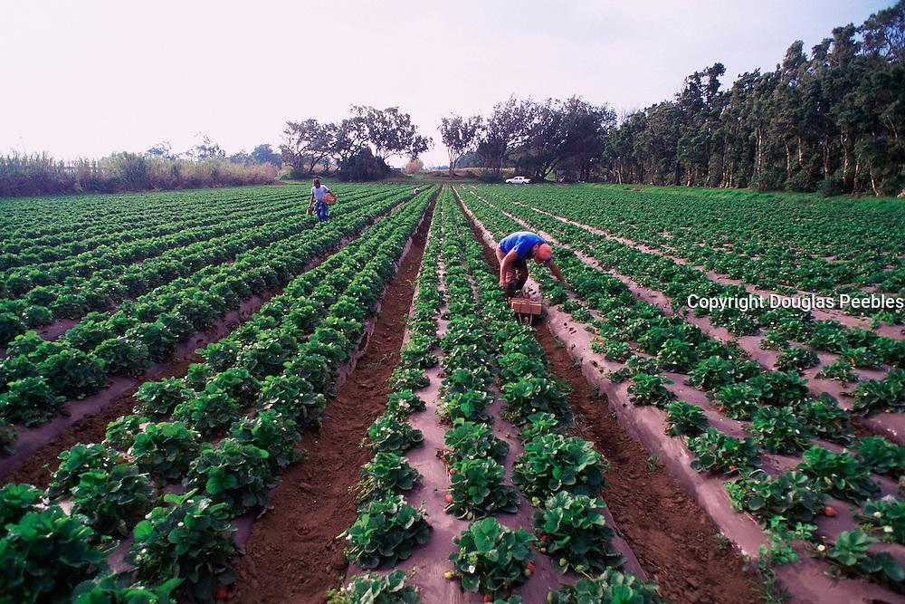 Vegetable farm, Kamuela, Island of Hawaii<br />