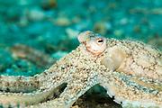 Atlantic Long-arm octopus near the Blue Heron Bridge, West Palm Beach, Florida
