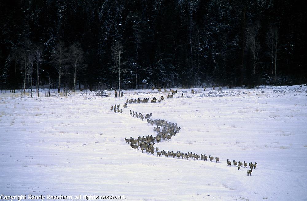 Elk herd in Lamar Valley. Yellowstone National Park, Wyoming.