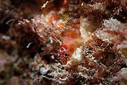 Ceratobregma helenae (Helen's Triplefin)
