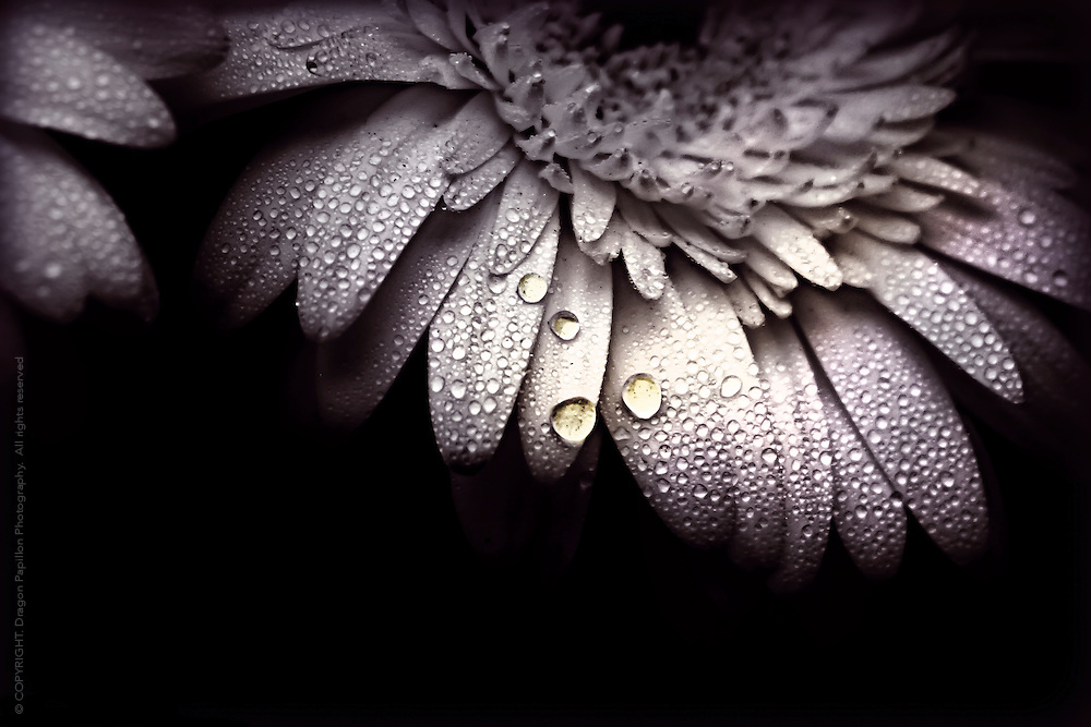 dew drops on petals on black background