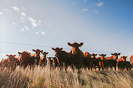 Red Angus, cattle, herd