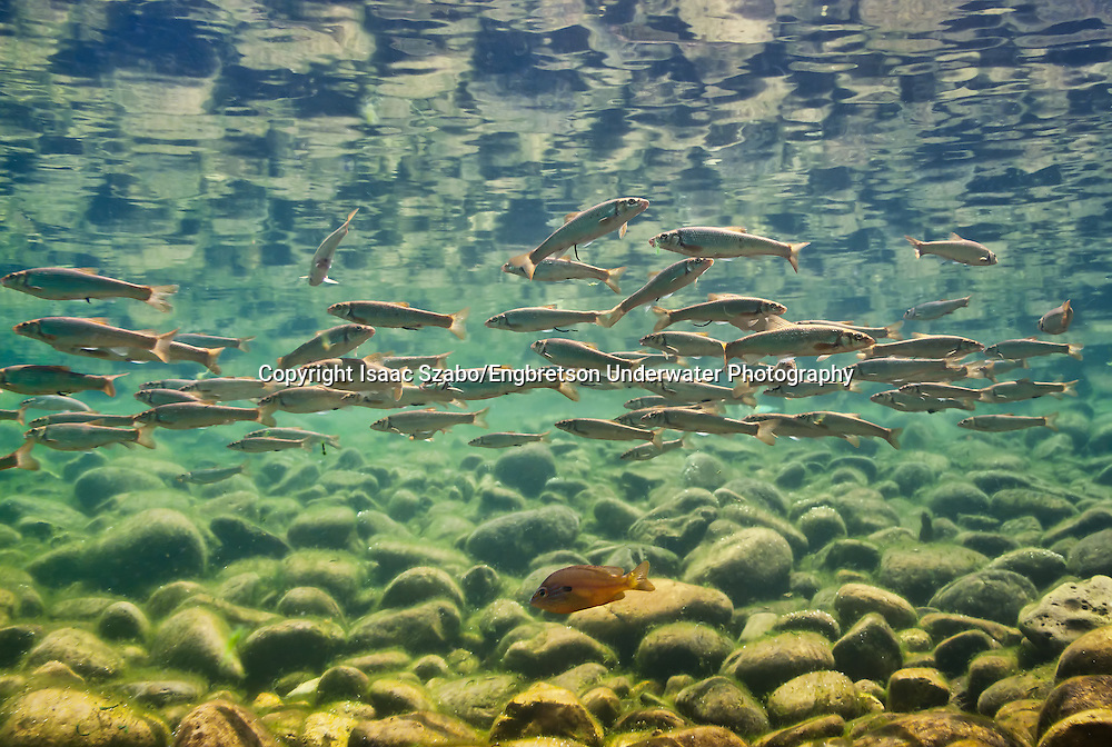 Central Stonerollers<br />