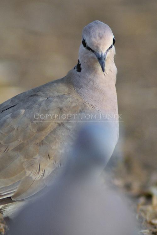 vinaceous dove, Streptopelia vinacea