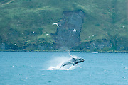 Humpback whale breeching in Dutch Harbor, Alaska in September 2015. These whales are storing up food for a long journey to Hawaii where they will find a mate for the breeding season.